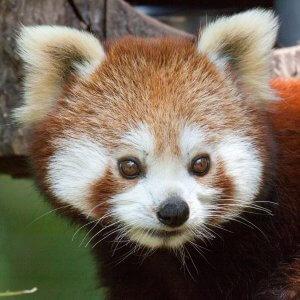 mačji panda 1
