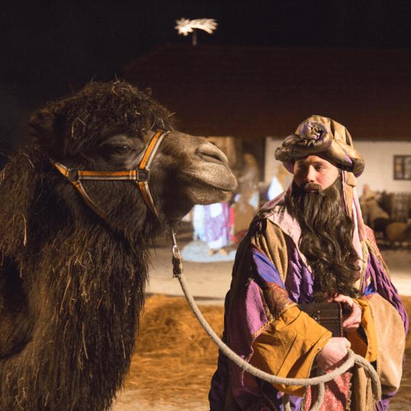 Kamele v Božični zgodbi ZOO Ljubljana