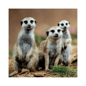 Fotomagnet surikata